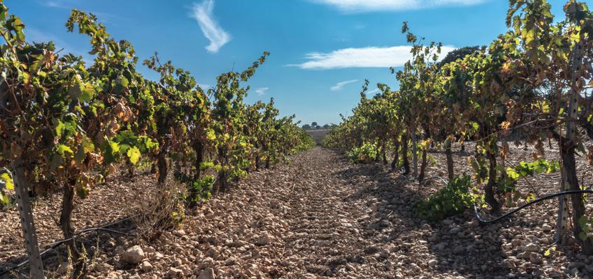 wie der Wein hergestellt wird