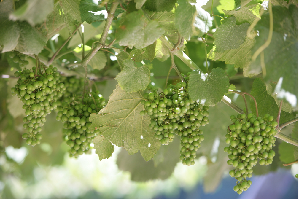 types de vin blanc