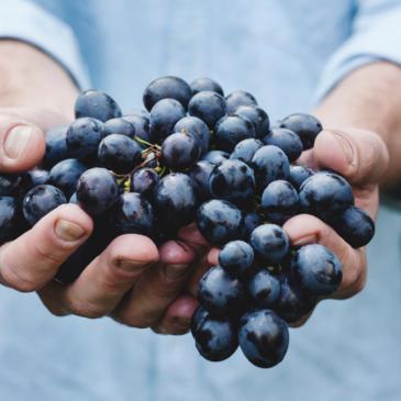 Tipos de uva para elaborar vino Rioja